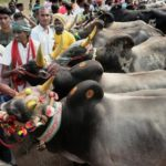 Jallikattu: SC refers pleas against  bull-taming sport to Constitution bench